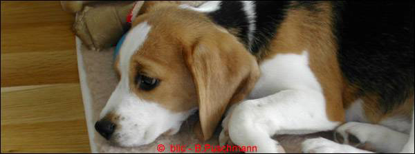 bayernhunde - Welpen
